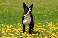 Boston terrier Stock Photos
