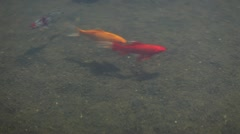 Gold fish Stock Footage