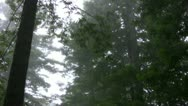 Stock Video Footage of Redwood 114 Foggy Forest