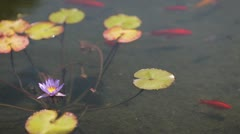 Lily Pads and gold fish - stock footage