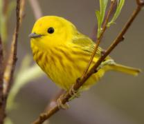 yellow warbler2ss.jpg - stock photo