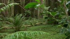 Redwood 116 Stout Grove Ferns Stock Footage