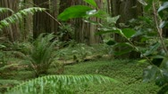 Stock Video Footage of Redwood 116 Stout Grove Ferns
