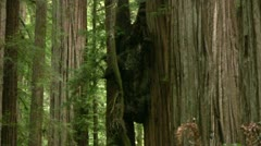 Redwood 117 Stout Grove Stock Footage