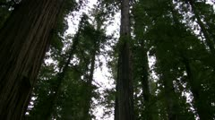 Redwood 119 Stout Grove Stock Footage