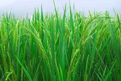 Stock Photo of rice seedlings