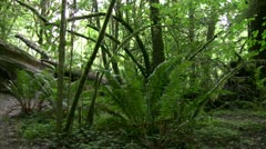 Redwood 124 Stout Grove Ferns Stock Footage