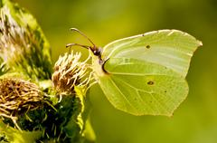 Brimstone butterfly, gonepteryx rhamni Stock Photos