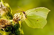 Stock Photo of brimstone butterfly, gonepteryx rhamni