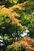 Stock Photo of Japanese momiji maple