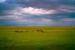 horses in grassland - stock photo