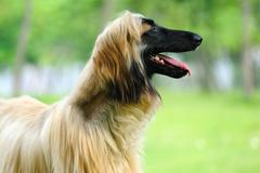 afghan hound dog - stock photo