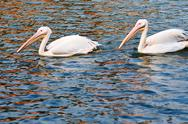Stock Photo of two pelican birds swimming