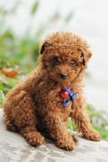toy poodle dog - stock photo
