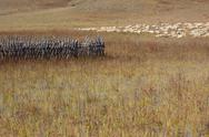 Stock Photo of group of sheep in grassland