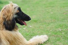 Afghan hound dog Stock Photos