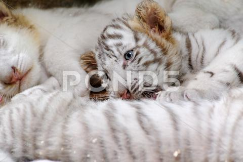 Stock photo of tiny tiger