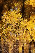 small tree with yellow leaves - stock photo