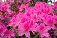 Stock Photo of azalea flowers