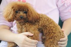 holding toy poodle dog in arms - stock photo