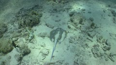 Blue Spotted Stingray swims on the coral reef, Red sea Stock Footage