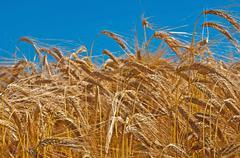 barley, hordeum vulgare - stock photo