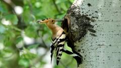 Hoopoe and nest hole Stock Footage