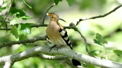 Hoopoe looking around Stock Footage