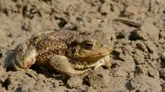 big common toad (Bufo bufo)  on ground after rain - stock footage