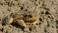 Big common toad (Bufo bufo)  on ground after rain Stock Footage