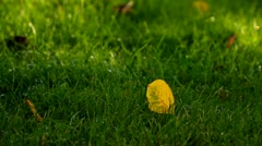 Yellow autumn leaf on the green grass background - stock footage