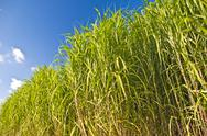 Stock Photo of miscanthus,switchgrass