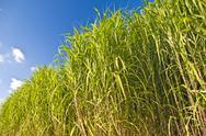Miscanthus,switchgrass Stock Photos