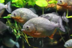 piranhas fish - stock photo