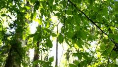 Green leaves in the forest, sunlight Stock Footage