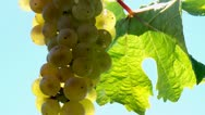 Stock Video Footage of White Grapes (Muscat)
