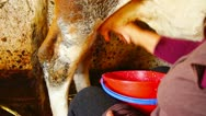 Milking a cow manually in a stable Stock Footage