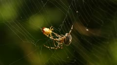 Cross spider (Araneus diadematus) with prey Stock Footage