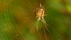 Female Metellina segmentata with prey Stock Footage