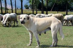 ANATOLİAN SHEEP DOG - stock photo