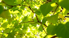 Green leaves with the sun, backlit Stock Footage