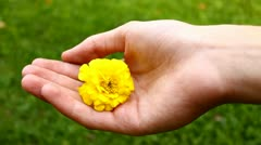 Hand holding a yellow flower, a blossom of carnation flower, care Stock Footage