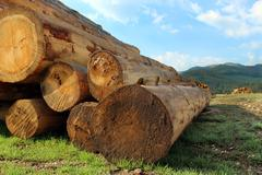 timber logs in the forest - stock photo