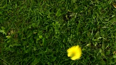 Yellow flower blossom falling down on the grass Stock Footage