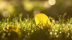 Yellow autumn leaf on the green grass with dew drops in the morning sun Stock Footage