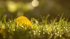 Sunlight on the morning grass with yellow autumn leaf and dew drops, background Stock Footage