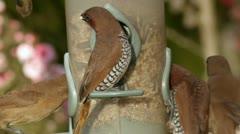 Munia Birds Feeding in a Frenzy Stock Footage