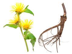 Medicinal plant. elecampane (inula helenium) Stock Photos
