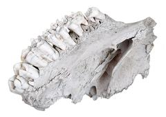 the jaw of an ancient herbivore - stock photo