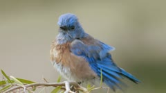 Male Blue Bird Drying after Bath Stock Footage